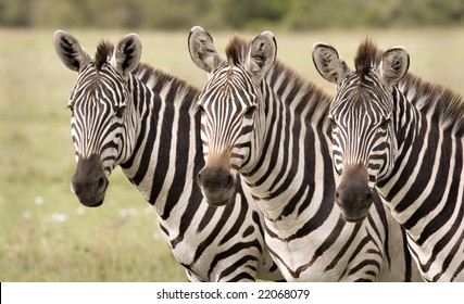 Three zebras in a row in Masai Mara Kenya