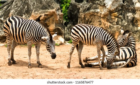 Three zebras standing close together in nature