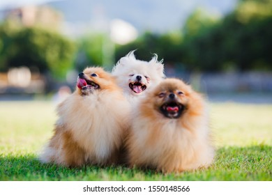 three Zverg Spitz Pomeranian puppies in a meadow