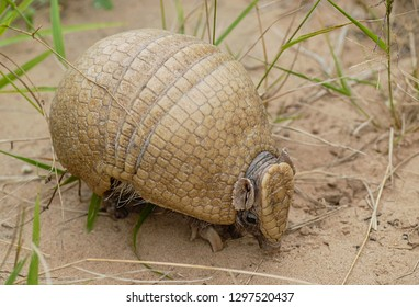 Three-banded armadillo (Tolypeutes matacus)