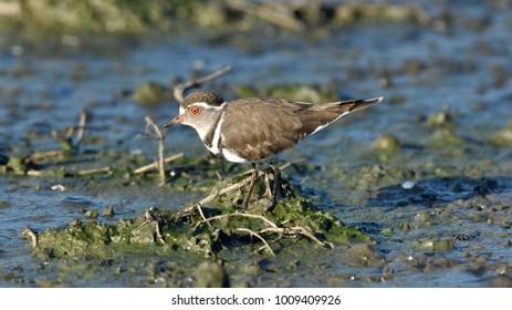 Three-banded Plover, Charadrius tricollaris