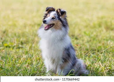 three-color small Scottish shepherd shelty on green grass on a Sunny day, Merle