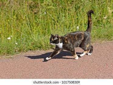 Three-colored cat runs on affairs on country road in summer