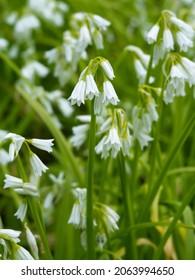 Three-Cornered Leek, or Snowbell Allium triquetrum) flower, an edible Meditarranean plant invasive in the UK.