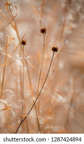 Three-lobed coneflower (Rudbeckia triloba) seed heads among dead little bluestem grass (Schizachyrium scoparium) stalks in January in central Virginia, backlit by afternoon sun.