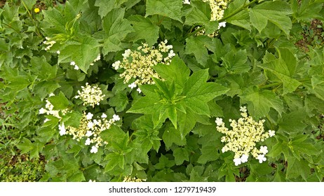 Three-lobed, serrated leaves with small white flowers & flower buds in clusters beginning to bloom. View from above on a guelder rose shrub beginning to flower. Dense, fresh bush foliage in spring.