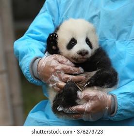 Three-month old baby panda.