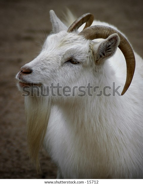 Three-quarter portrait of a goat.