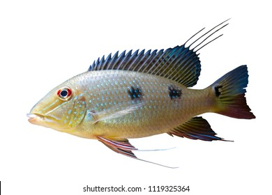 Threespot Eartheater cichlid (Satanoperca daemon) on white isolated background with clipping path