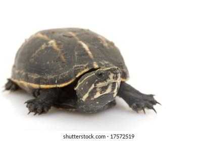 Three-Striped Mud Turtle (Kinosternon baurii) on white background.
