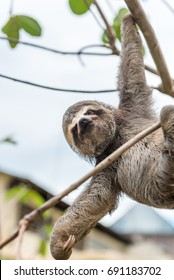 Three-toed baby sloth hanging from one hand from a tree limb