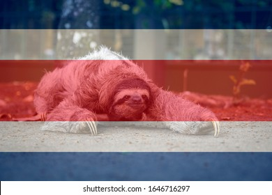 Three-toed sloth bear walking, with Costa Rica flag superimposed. Beautiful animal representative of the diversity of Costa Rica