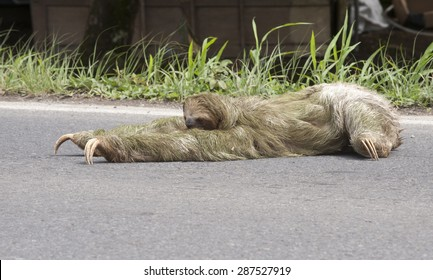 Three-toed sloth (Bradypus Bradypodidae) attempts to cross roadway.  Sloths live most of their lives in the tree canopy and have almost no mobility on the ground.  They can't walk on four legs