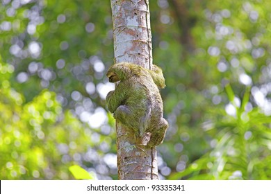 A Three-toed Sloth climbing down the tree in Manuel Antonio national park