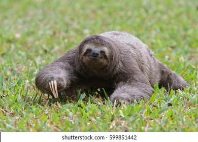Three-toed sloth on the green grass