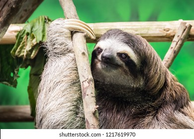Three-Toed Sloth in a Refuge in Costa Rica