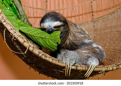 A three-toed sloth sits in her basket in a Sloth sanctuary in Costa Rica while feeding on green leaves.