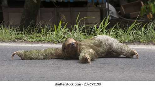 Three-toed sloth tries to cross a busy road.  Built for life in the tree canopy, sloths can not walk on all four legs.  This female is trying to crawl across the road..