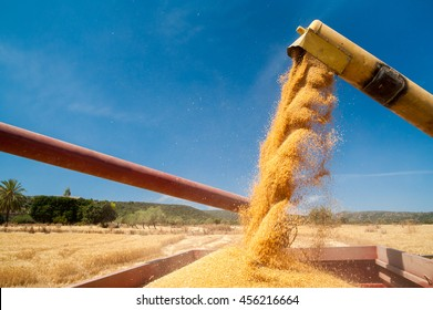 Threshing machine pouring the just harvested wheat into a silo