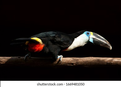throated toucan white a big black bird 55 cm with a white throat and a big red bill with a yellow border it is also called white throated toucan throated toucan white eye wildlife bird vegetation natu