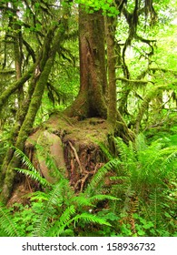 Throne Tree in forest with green moss, roots and ferns/Mossy throne tree in forest
