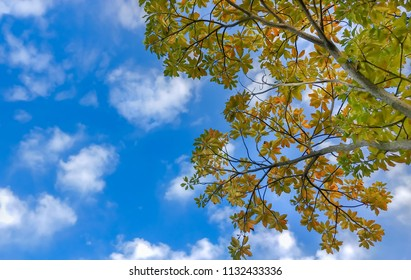 Through the camphor trees that are slightly colored with the background of the blue sky and the cumulonimbus, they express hope, longing, enthusiasm, ,holiday,and happiness.