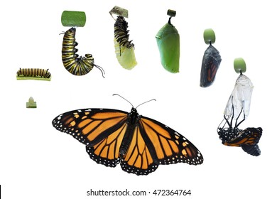 Through a time of 4 months and 7 Monarch butterflies, various stages of the life cycle of this lovely insect was captured and edited on an isolated white background for a variety of ideas horizontal