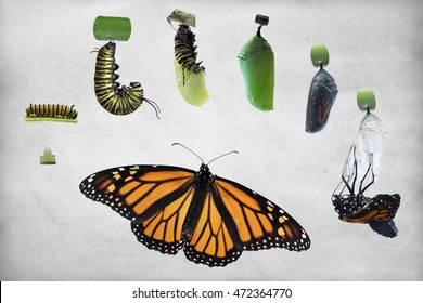 Through a time of 4 months and 7 Monarch butterflies, various stages of the life cycle of this lovely insect was captured and edited on a vintage textured background for a variety of ideas horizontal