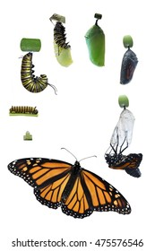 Through a time of 4 months and 7 Monarch butterflies, the various stages of the life cycle of this lovely insect was captured and edited on an isolated white background for a variety of ideas vertical