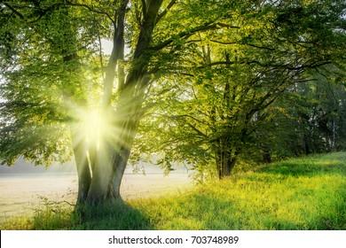 Through a tree the rising sun shines