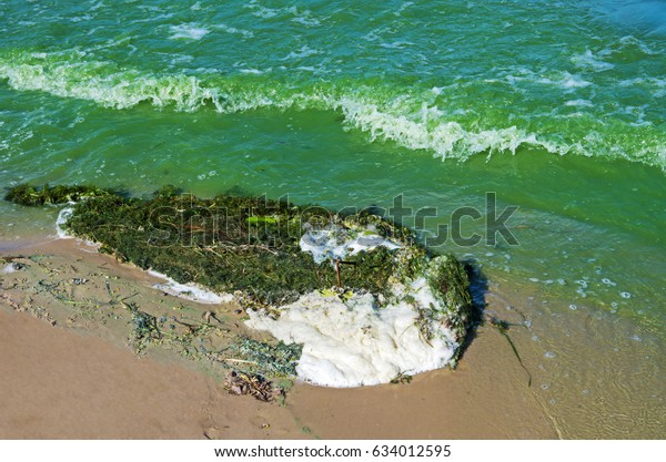 thrown-ashore-algae-abundantly-flowering