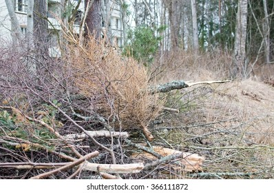 Thrown out old dry Christmas tree on heap of woods in Sweden in March.