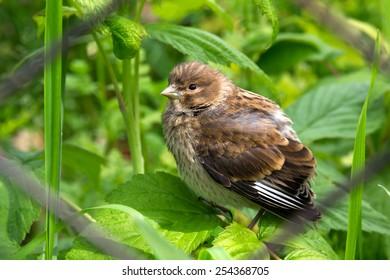 Thrush fledgling. Chick of forest bird.