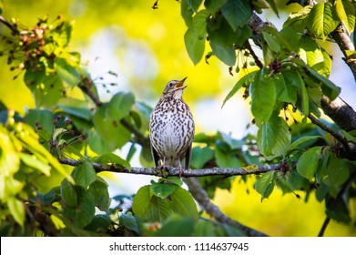 The thrush in full song