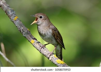 Thrush Nightingale (Luscinia luscinia). Russia, the Ryazan region (Ryazanskaya oblast), the Pronsky District.