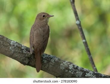Thrush Nightingale on the branch