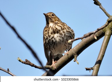 Thrush sitting on a branch of a tree on the background of the sky