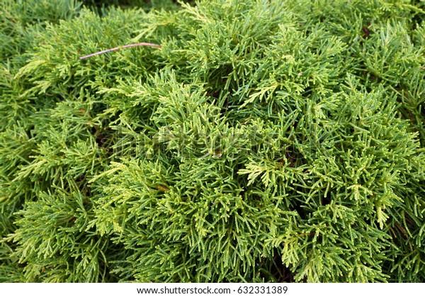 Thuja (arbor vitae). Natural green background.