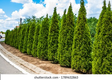 Thuja arborvitae trees, row of ornamental shrubs in a garden.