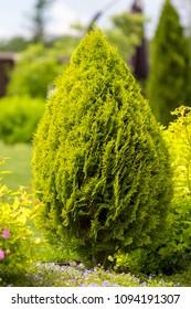 thuja brabant thuja occidentalis thuja plicata arborvitae ball close-up.