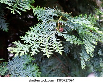 Thuja Branch Close Up In a Spring Rain