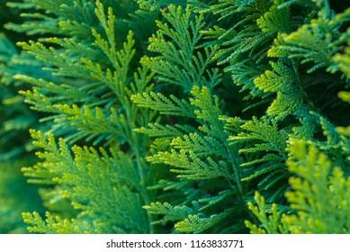 thuja branches macro selective focus