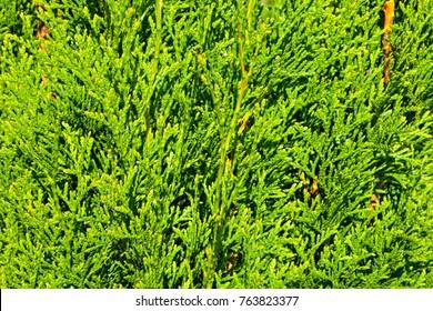 Thuja Branches (Thuja occidentalis Smaragd)