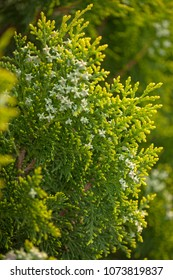 thuja branches with small green cones natural macro background