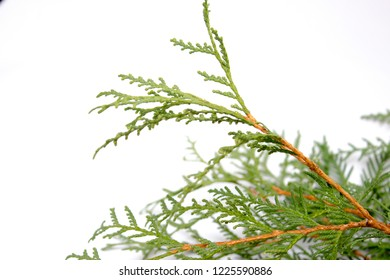 Thuja. Christmas tree. Thuja isolated on white background.
