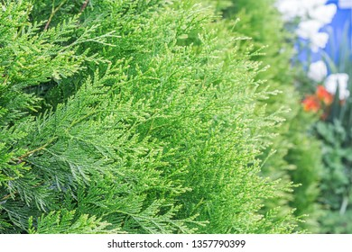 Thuja for decoration, background
