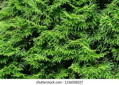 thuja  evergreen coniferous tree green twigs macro