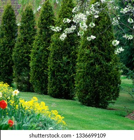 Thuja in a garden