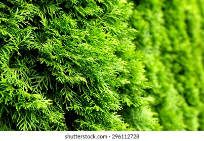 Thuja green natural background