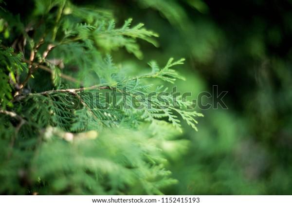 Thuja сloseup, green nature background